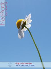 Երիցուկ դեղատնային - Ромашка аптечная - Matricaria chamomilla L.